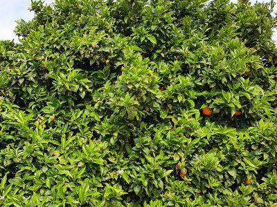 Orangenbaum auf Kreta im April