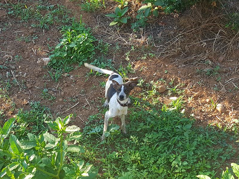 Hund im Olivenhain