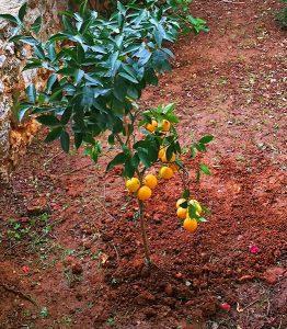 Orangenbaum im Vorgarten