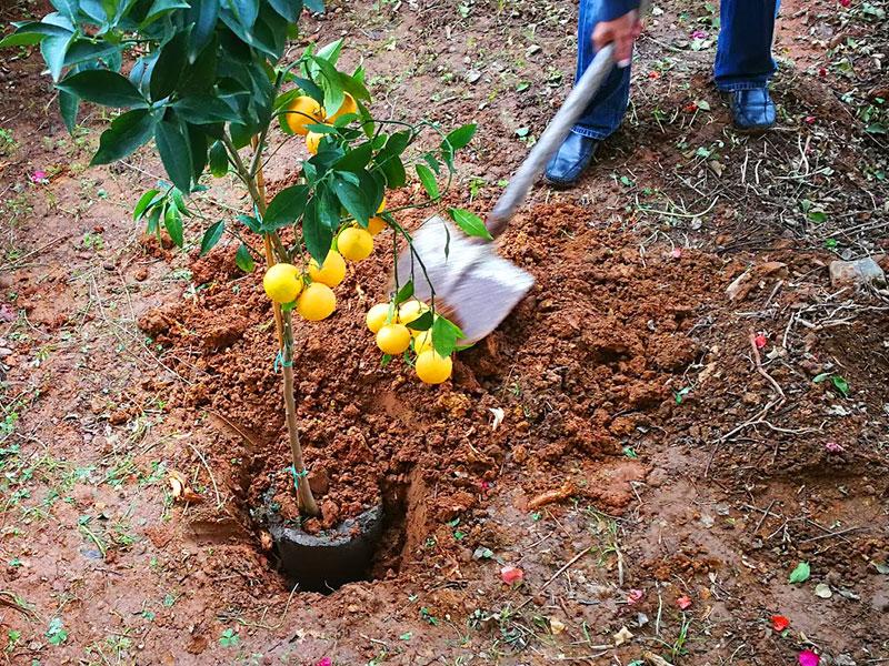 Orangenbaum einpflanzen