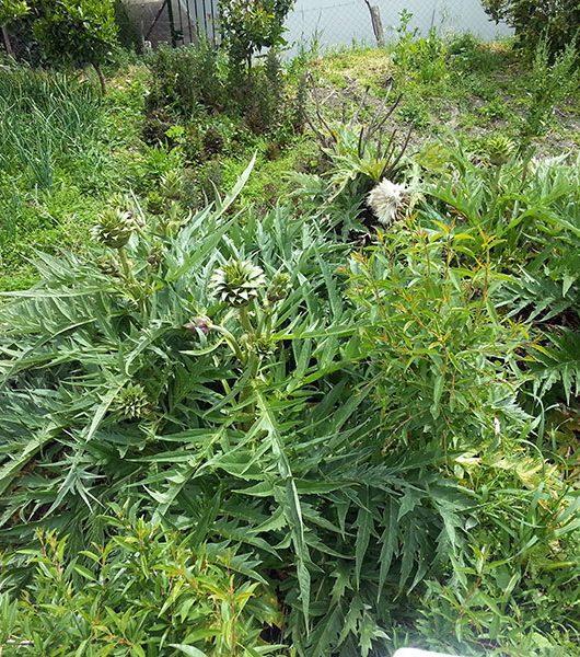 Artischocken-Pflanze