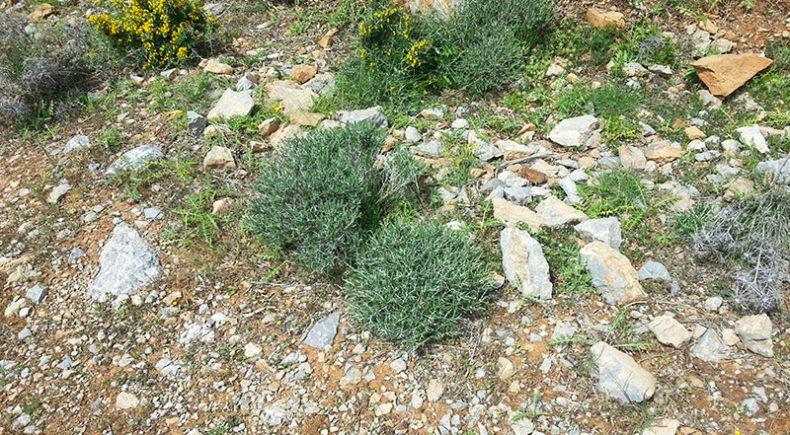 Kräuter sammeln in der Bergregion nördlich von Mirtos