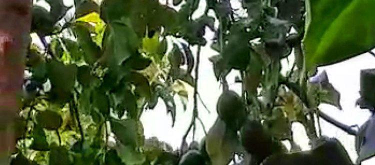 Avocadobaum im Kloster Chrysopigi