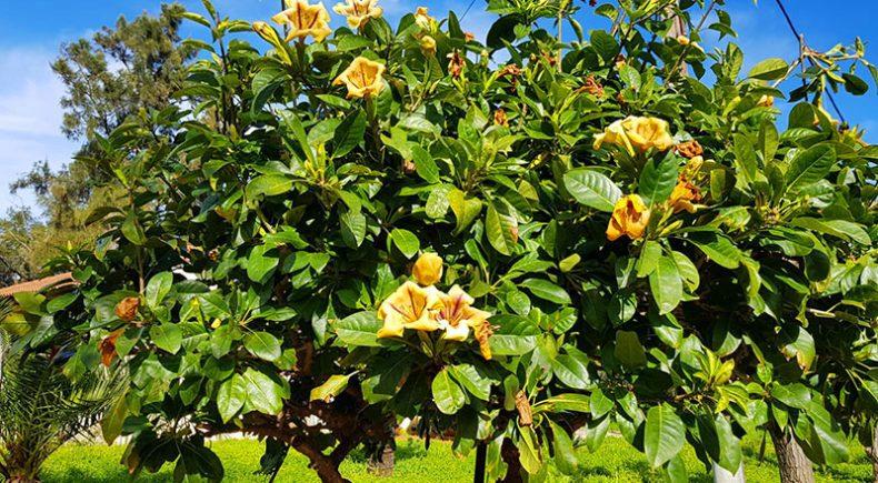Blühender Baum am Kloster Chrysopigi