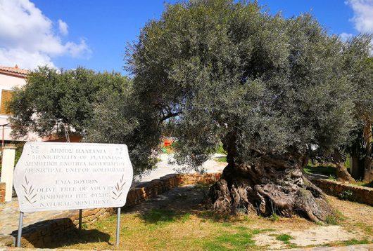Ältester Olivenbaum der Welt in Ano Vouves