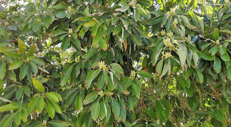 Avocado-Baum im Frühjahr