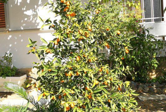 Früchte am Baum im Dorf