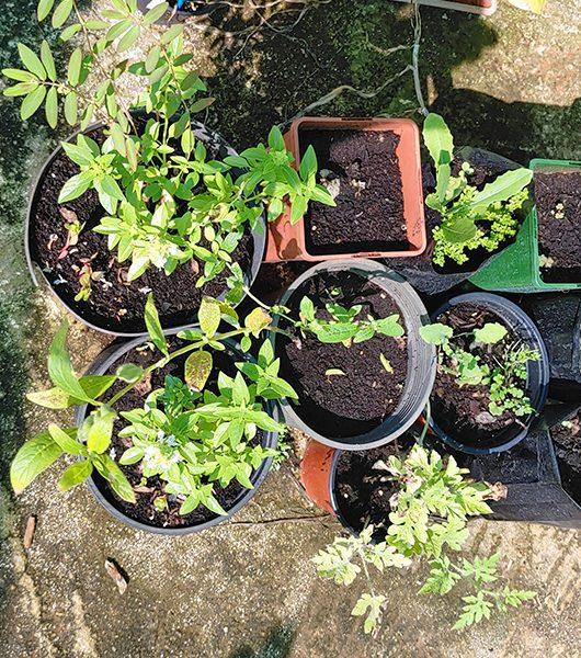 Sesam: Setzlinge, gezogen aus uraltem Saatgut